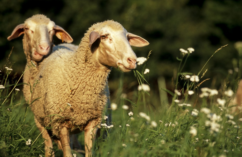 Merino-Schafe, Altmühltal